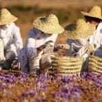 Saffron pickers