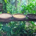World's costliest coffee: kop luwak