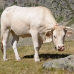 Blonde d'Agauitaine in the Pyrenees