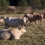 Herd of Blondes d'Aquitaine